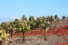 Catus sulla plaza del sud di Isla, Galapagos Fotografia Stock Libera da Diritti