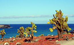 Catus sulla plaza del sud di Isla, Galapagos Fotografia Stock