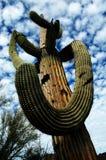 Catuscactussen in de Woestijn van Arizona stock fotografie