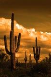 Catuscactussen in de Woestijn van Arizona royalty-vrije stock foto's
