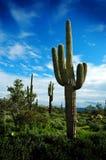 Catuscactussen in de Woestijn van Arizona stock afbeelding