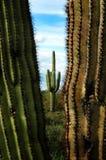 Catuscactussen in de Woestijn van Arizona royalty-vrije stock fotografie