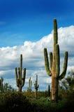 Catuscactussen in de Woestijn van Arizona royalty-vrije stock afbeelding