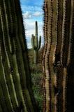 Catuscactussen in de Woestijn van Arizona royalty-vrije stock afbeeldingen