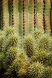 Catuscactussen in de Woestijn van Arizona stock foto