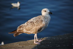 Catwalk, gull and sea Royalty Free Stock Image