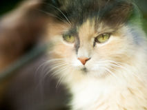 Catwith a three-colored wool with green eyes looks at the camera. Very cute and gentle pet is the concept of the owner`s Royalty Free Stock Photos