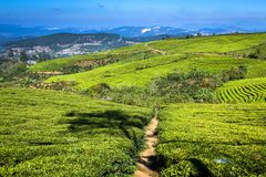 Cau Dat Green Tea Hills Farm im Sonnenschein stockbild