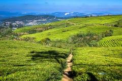Cau Dat Green Tea Hills Farm na luz do sol imagem de stock