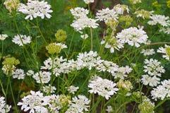 Caucalis grandiflora un wildflower bianco Immagini Stock