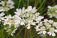 Caucalis grandiflora un wildflower blanc Images stock