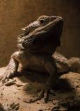 The Caucasian Agama (Laudakia caucasia). The Caucasian Agama, reptile, lizard. Nizhny Novgorod an exhibition of exotic animals Stock Images
