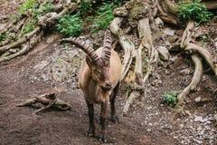 Caucasian bergsfår med enorma horn i en naturlig livsmiljö wild djur Fotografering för Bildbyråer