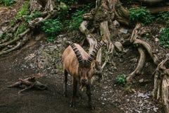 Caucasian bergsfår med enorma horn i en naturlig livsmiljö wild djur Arkivfoto