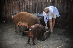 In summer, the girl does not wear much clothes and comes to feed the red pigs of the Duroc breed. A Caucasian blonde with blue eyes works on a pig farm as a Stock Photography