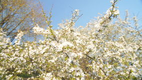 Caucasian blossom plum, slow motion camera. Flowering  caucasian plum branches. Slow camera movement,  low poin of view. White flowers, blue sky. Slow motion stock video footage