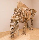 Caucasian elasmotherium. Geological age: 1.4 million years old Stock Images