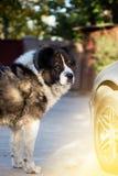 Caucasian fårhund i hösttid Vuxen Caucasian herdehund Royaltyfri Bild