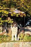 Caucasian fårhund i hösttid Vuxen Caucasian herdehund Royaltyfria Foton