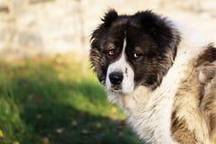 Caucasian fårhund i hösttid Vuxen Caucasian herdehund Arkivfoto