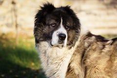 Caucasian fårhund i hösttid Vuxen Caucasian herdehund Royaltyfri Foto