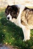 Caucasian fårhund i hösttid Vuxen Caucasian herdehund Arkivfoton