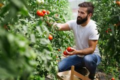 Caucasian farmer picking fresh tomatoes from his hothouse. Garden royalty free stock photography
