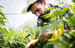 Caucasian farmer picking paprika from his hothouse garden Stock Photos