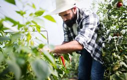 Caucasian farmer picking paprika from his hothouse garden Stock Images