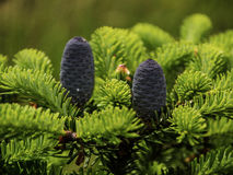 Caucasian fir tree cones. On the branch Stock Image