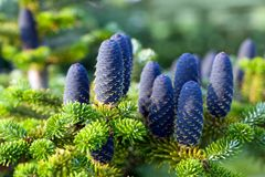 Caucasian fir tree cones close-up. Called also Abies nordmanniana or the Nordmann fir Stock Photos