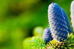 Caucasian fir tree cones close-up. Stock Images