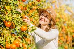 Caucasian girl harvesting mandarins and oranges in Royalty Free Stock Photos