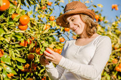 Caucasian girl harvesting mandarins and oranges in Stock Photo