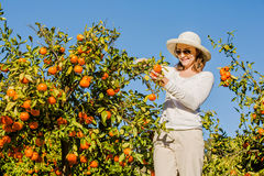 Caucasian girl harvesting mandarins and oranges in Royalty Free Stock Photography
