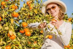 Caucasian girl harvesting mandarins and oranges in Royalty Free Stock Image