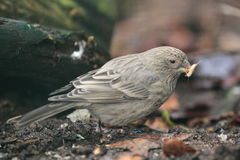 Caucasian great rosefinch Royalty Free Stock Photography