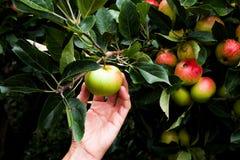 Caucasian handplockningäpple från ett äppleträd Arkivfoto