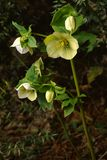 Caucasian hellebore Stock Photos