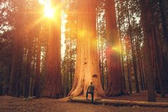 Hiker in Front of Giant Sequoia. Caucasian Hiker in His 30s in Front of Giant Sequoia. Sierra Nevada Ancient Forest stock photo
