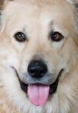 caucasian hundfår Fotografering för Bildbyråer