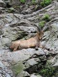 caucasian ibex Fotografering för Bildbyråer