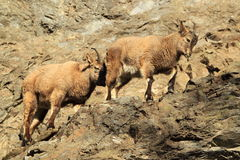 Caucasian ibex Royalty Free Stock Photo