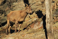 Caucasian ibex juvenile Royalty Free Stock Photo