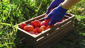 Caucasian kvinnlig för Closeup i blått som arbeta i trädgården handskar som fyller träasken med tomater lager videofilmer