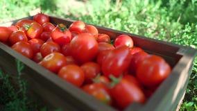 Caucasian kvinnlig för Closeup i blått som arbeta i trädgården handskar som fyller träbehållaren med tomater lager videofilmer
