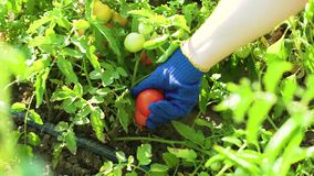 Caucasian kvinnlig för Closeup i blått som arbeta i trädgården handskar som väljer tomater arkivfilmer