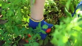 Caucasian kvinnlig för Closeup i blått som arbeta i trädgården handskar som väljer tomater stock video
