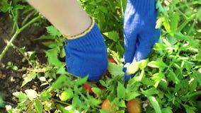 Caucasian kvinnlig för Closeup i blått som arbeta i trädgården handskar som väljer tomater lager videofilmer
