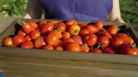 Caucasian kvinnlig för Closeup i förklädet och locket som bär träasken med tomater stock video